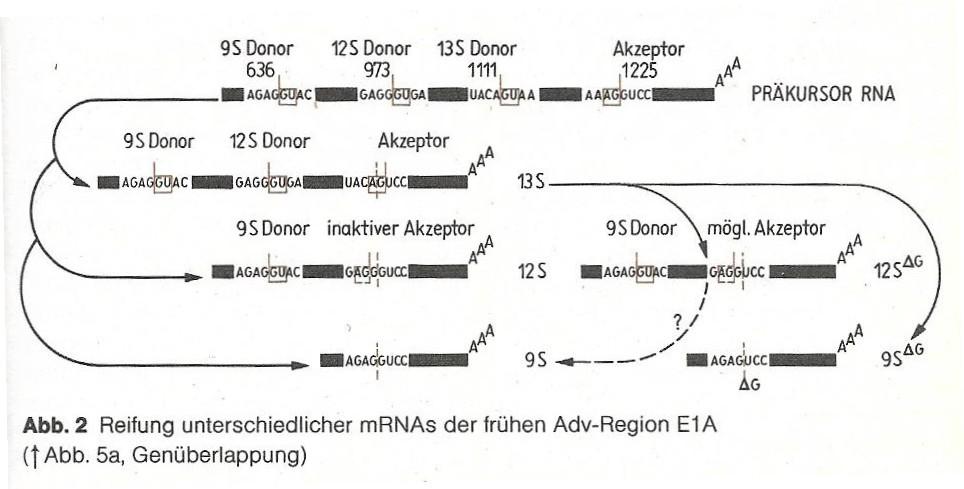 mRNS Abbildung2